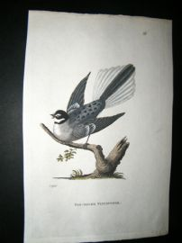 Shaw C1800's Antique Hand Col Bird Print. Fan Tailed Flycatcher